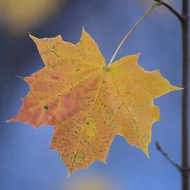 Richard Andrews - The Littlest Maple