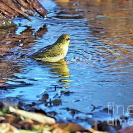 Gary Richards - The Orange Crowned Warbler