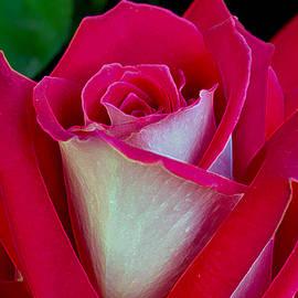 Michele  Avanti - The Peace Rose
