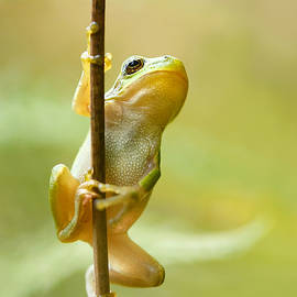 The Pole Dancer - Climbing Tree frog  - Roeselien Raimond