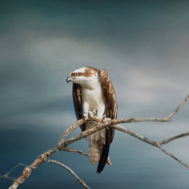 Kim Hojnacki - The Raptor - Osprey