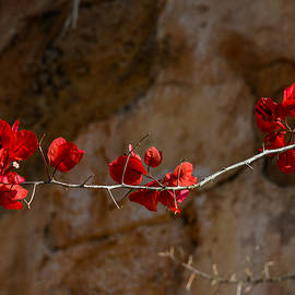 Amanda Sinco - The Red Bougainvillea
