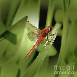 Scott Cameron - The Red Dragonfly Nbr.1
