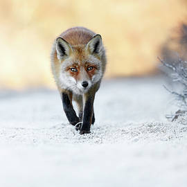Roeselien Raimond - The Red, White and Blue - Red Fox in the snow
