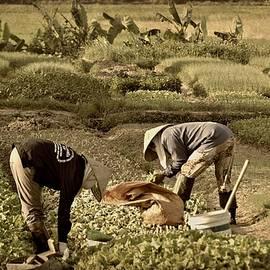 Toni Abdnour - The Rice Paddy Field
