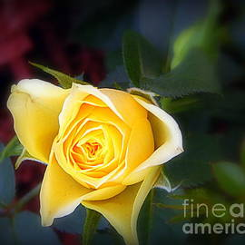 Karen Cook - The romance of the rose