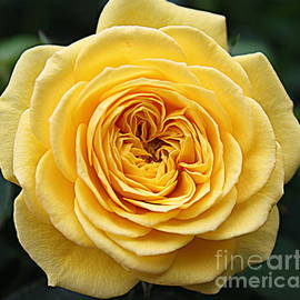 Dora Sofia Caputo Photographic Art and Design - The Rose of Late Autumn