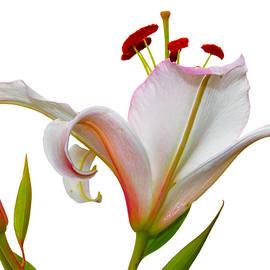 Natalya Myachikova - The scent of white lilies