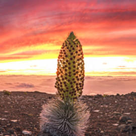Hawaii Fine Art Photography - The Silversword