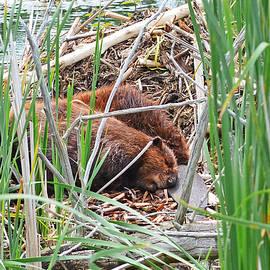 Asbed Iskedjian - The sleeping beavers