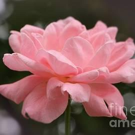 Jari Hawk - The Soft Pink Rose