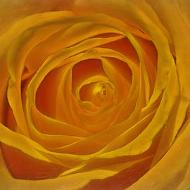 Hal Halli - The Soul of a Yellow Rose