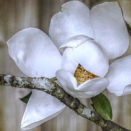 Jean Connor - The Southern Magnolia