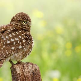 Roeselien Raimond - The Thinker -  Little Owl in a Flower Bed