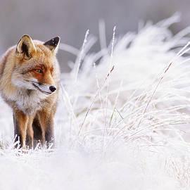 Roeselien Raimond - The Thinker - Red Fox in a wintery landscape