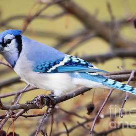 Ricky L Jones - The Winter Blue Jay