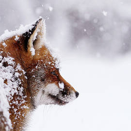 Roeselien Raimond - The WinterWatcher - Red Fox in the Snow