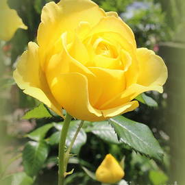 Photographic Art and Design by Dora Sofia Caputo - The Yellow Rose of August