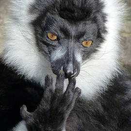 Margaret Saheed - Thinking Black And White Ruffed Lemur