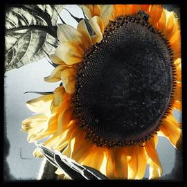 Angela Ahrens - This Sunflower Reached 8ft Tall. So