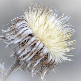 Olimpia Negura - Thistle flower