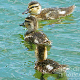 Emmy Marie Vickers - Three Ducklings Swimming