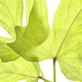 Regina Geoghan - Three Green Leaves