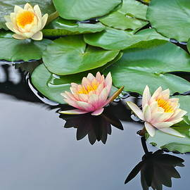 Byron Varvarigos - Three Lovely Hardy Waterlily Blossoms