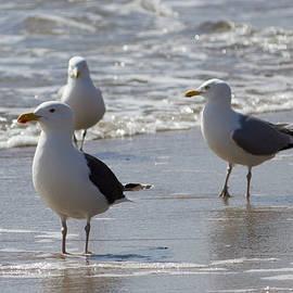 Kirkodd Photography Of New England - Three Of a Kind - Seagulls