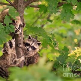 Karim Hussain - Three Raccoon Cubs