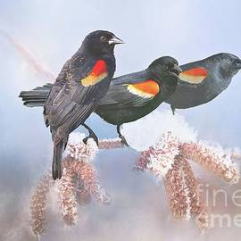 Janette Boyd - Three Red-Winged Blackbirds in a Row