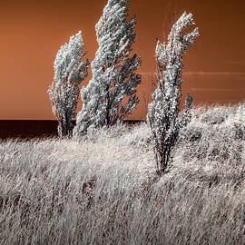 Randall Nyhof - Three Trees  in Infrared on top of a Grassy Dune