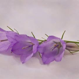 Sandra Foster - Three Wild Campanella Blossoms - Macro
