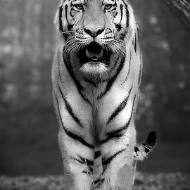 Jean Francois Gil - Tiger Black And White