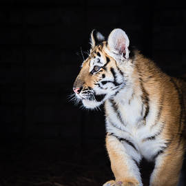 Serge Skiba - Tiger Cub