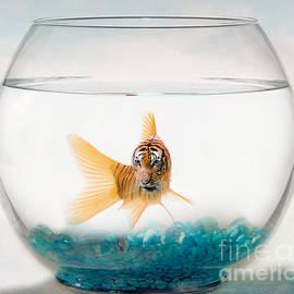 Juli Scalzi - Tiger Fish