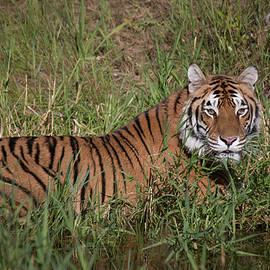 Teresa Wilson - Tiger in the Grass