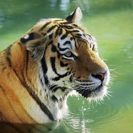 Tiger in the Water - Carlos Caetano