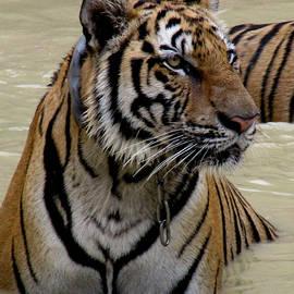 Leena Kewlani - Tiger in water