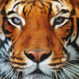 Angela Doelling AD DESIGN Photo and PhotoArt - Tiger Portrait