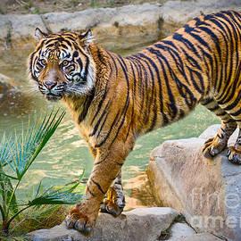 Jamie Pham - Tiger Rock