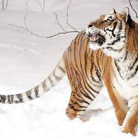 Athena Mckinzie - Tiger Winter