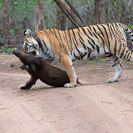 Fotosas Photography - Tigress with the Kill