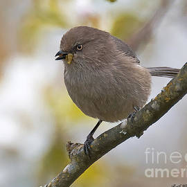 Beth Wolff - Bushtit with worm in beak
