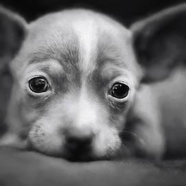 Darren Fisher - Tiny Chihuahua