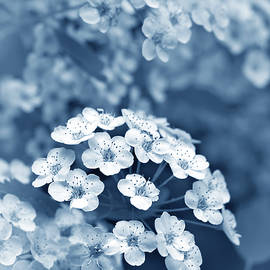 Jennie Marie Schell - Tiny Spirea Flowers in Blue