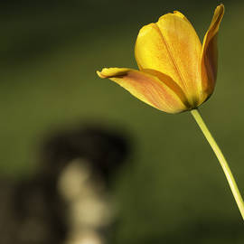 Wendy Chapman - Toby Tiptoes Through The Tulips