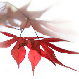 Jennie Marie Schell - Translucent Red Japanese Maple Leaves