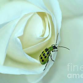 ArtissiMo Photography - Traversing the Rose