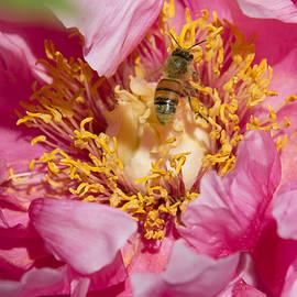 Andrew Bloom - Tree Peony and Honey Bee # 5